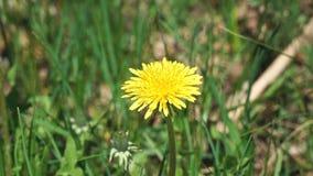 Flower of a yellow dandelion swings the wind. The flower of a yellow dandelion swings the wind stock video