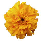 Flower,  yellow,  with dew, white isolated background with clipping path. no shadows Royalty Free Stock Photos