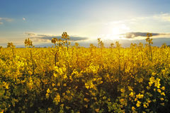 Flower Yellow field Stock Image
