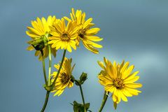 Flower, Yellow, Flora, Daisy Family Royalty Free Stock Images