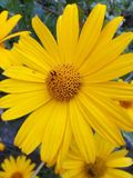 Flower, Yellow, Flora, Daisy Family Royalty Free Stock Photography