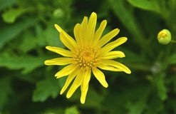 Flower, Yellow, Flora, Daisy Family Stock Images