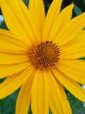 Flower, Yellow, Flora, Daisy Family Stock Photo