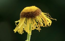 Flower, Yellow, Flora, Macro Photography Stock Photo