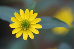 Flower, Yellow, Flora, Macro Photography Royalty Free Stock Photos