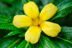 Flower, yellow, flora, plant, wildflower, damiana, petal. Flower is yellow, wildflower and macro photography. That marvel has flora, damiana and shrub and that Royalty Free Stock Images