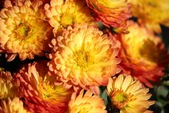 Flower, Yellow, Flowering Plant, Chrysanths Royalty Free Stock Image