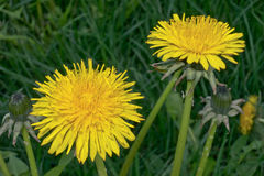 Flower. Yellow flowers macro - dandelion Royalty Free Stock Photography