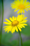 Flower. A yellow flower in the front an one in the back Stock Photography