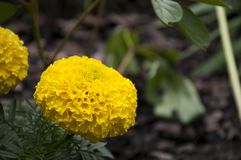 Flower. Yellow flower in garden stock images