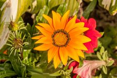Flower of a yellow gerbera Royalty Free Stock Photography