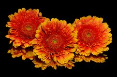 Flower, Yellow, Gerbera, Orange Royalty Free Stock Photos