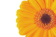 Flower of a yellow gerbera on a white background. Flower of a yellow gerbera on the white isolated background Stock Photo