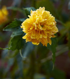 Flower Yellow. Yellow Flower in a green garden Royalty Free Stock Photos