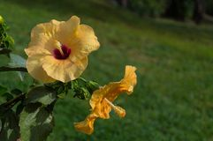 Flower of yellow Hibiskus Hibiscus. After rain with water droplets outside garden Stock Photo