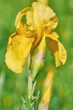 Flower of Yellow Iris Royalty Free Stock Photography