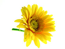 Flower, yellow isolated. Flower, yellow on green stalk isolated stock image
