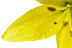 Flower of a yellow lily Stock Photos