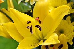 Flower, Yellow, Lily, Flora Royalty Free Stock Photography