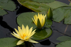 Flower yellow lotus. Trio yellow lotus on a dark mirrored water Stock Images