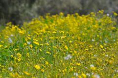 Flower, Yellow, Meadow, Flora Royalty Free Stock Photography