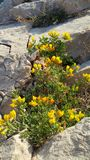 Flower. Yellow flower on the Mediterranean rock Stock Photos