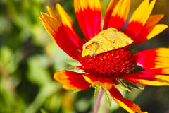Flower and yellow moth. Colorful flower and a yellow moth stock photos
