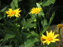 Yellow Wildflowers with green leaves stock photo