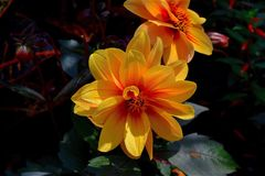 Flower, Yellow, Orange, Petal Royalty Free Stock Photography