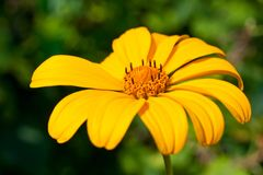 A flower with yellow petals shot close-up against a green background.  Stock Image