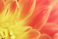 Flower yellow-pink background of dahlias petals. Macro photography. Soft focus. Royalty Free Stock Image