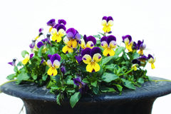 Flower yellow with purple pansies Stock Photography