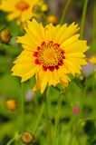 Flower with yellow and red petals. Stock Photo