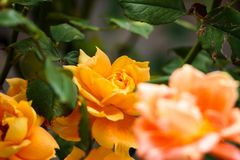 Flower, Yellow, Rose Family, Rose Royalty Free Stock Photography