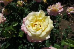 Flower of yellow rose with pink edges of petals. Flower of pale yellow rose with pink edges of petals royalty free stock photography