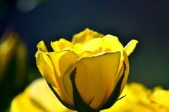 Flower, Yellow rose. Yellow rose in the sun, yellow flower Stock Photo