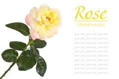 Flower of yellow roses isolated on white Royalty Free Stock Image