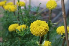 Flower. Yellow flower it& x27;s call marigold stock photography