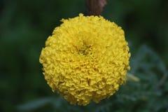 Flower. Yellow flower it& x27;s call marigold stock photo