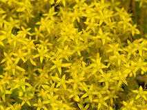 Flower yellow stonecrop varieties Sultan Stock Image