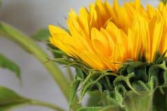 Flower, Yellow, Sunflower, Close Up Stock Photo