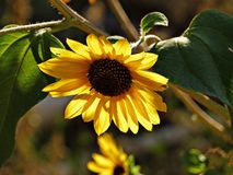 Flower, Yellow, Sunflower, Flora Royalty Free Stock Images