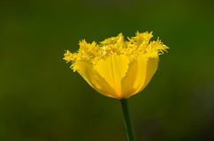 Flower. Yellow tulip growing in a green grass Royalty Free Stock Photography
