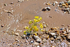 Flower yellow on the wet sand Royalty Free Stock Photo