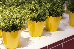 on the white table are yellow flower pots stock photo