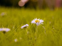 Flower, Yellow, Wildflower, Meadow royalty free stock photo