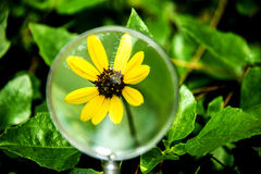 Flower, yellow wildflower under magnifying glass Royalty Free Stock Photo