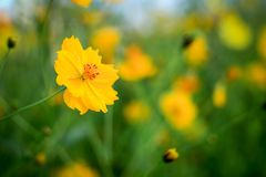 Flower, Yellow, Wildflower, Vegetation Stock Photography