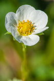 Flower of a young strawberry plant Royalty Free Stock Photo
