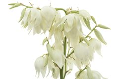 Flower of yucca, isolated on white background.  stock photography